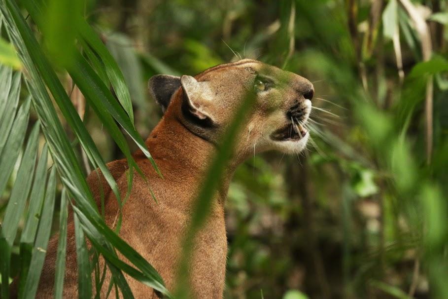 A Puma Gazing Towards the Tree Tops