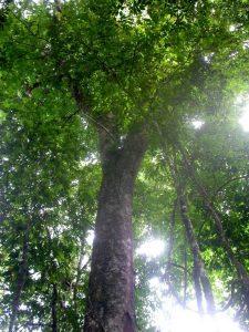 A Dialium Tree