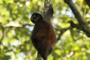 A Spider Monkey Observing the Osa Canopy