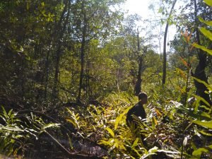 mangrove fern