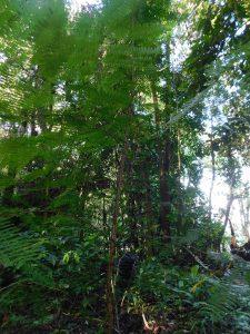 Arbol de cornizuelo (Vachellia allenii) creciendo en un bosque protegido (Saladero Ecolodge)