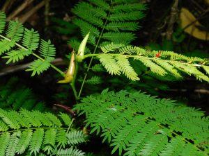 Hoja de un cornizuelo mostrando los cuerpos alimenticios que produce ara alimentar a sus hormigas (foliolulos modificados de color amarillo)