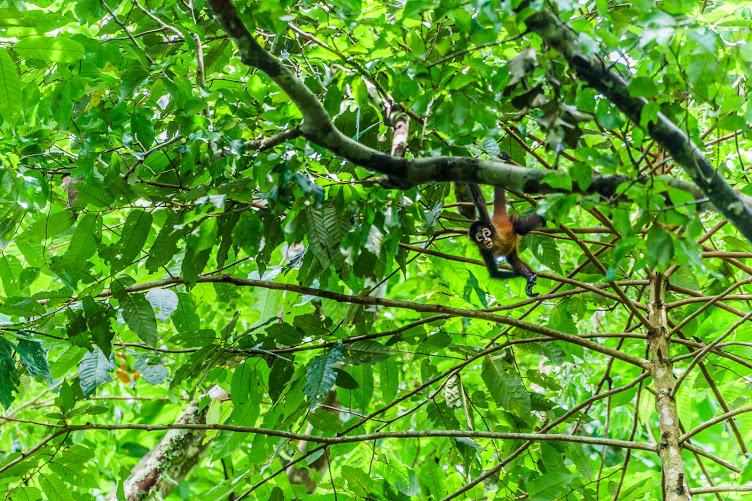 A Young Spider Monkey Exploring the Dense Forest of the Osa; Photo by Frank Uhlig
